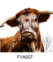 FYA007 - British Longhorn Cow