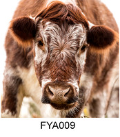 FYA009 Young British Longhorn Cow greeting card