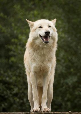 wolf card 4