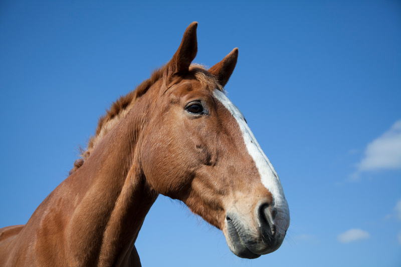 horse portraits stourport